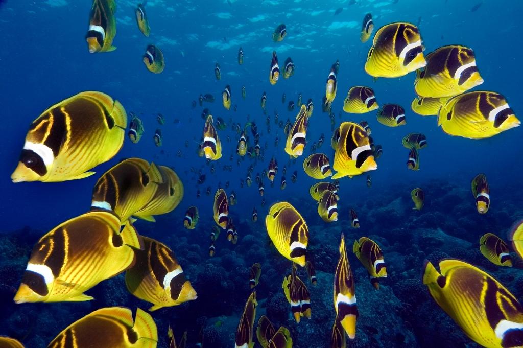 Racoon-butterfly-fish.jpg