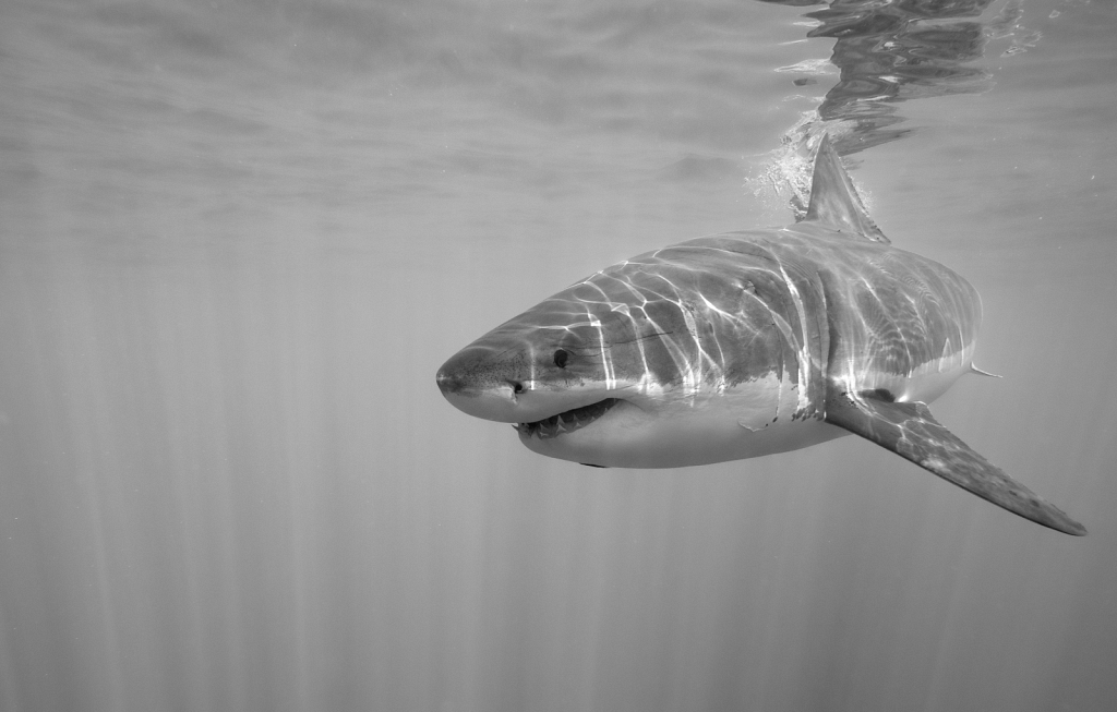 Great-white-shark-Mexico.jpg