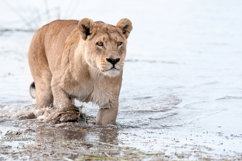 lioness-crossing-water.jpg